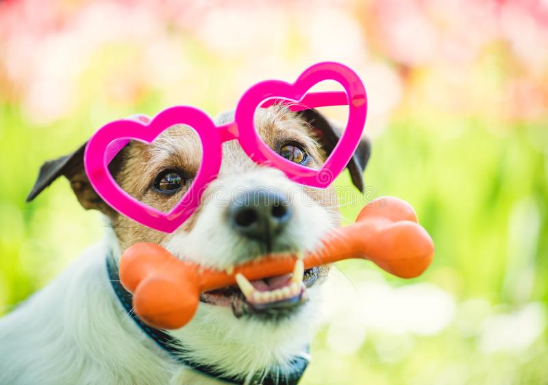 Le beau chien portant des lunettes en forme de coeur tient l'os comme cadeau de Saint-Valentin images stock