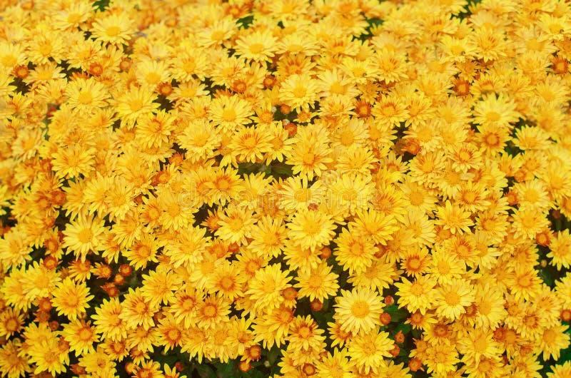 Le beau chrysanthème jaune, texture des fleurs wallpaper image stock