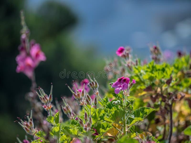 Le beau colourfull se d?veloppent des fleurs en ?le grecque photographie stock