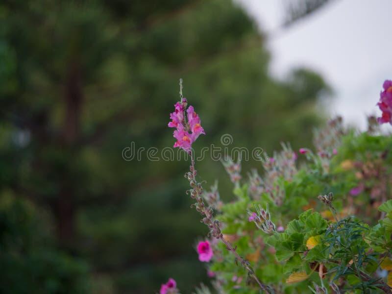 Le beau colourfull se d?veloppent des fleurs en ?le grecque photographie stock libre de droits