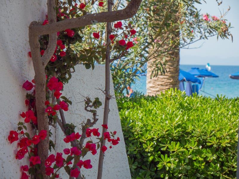 Le beau colourfull se d?veloppent des fleurs en ?le grecque image stock