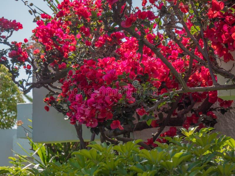 Le beau colourfull se d?veloppent des fleurs en ?le grecque photo stock