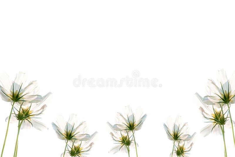 Le beau cosmos blanc de floraison fleurit sur le fond blanc photo libre de droits