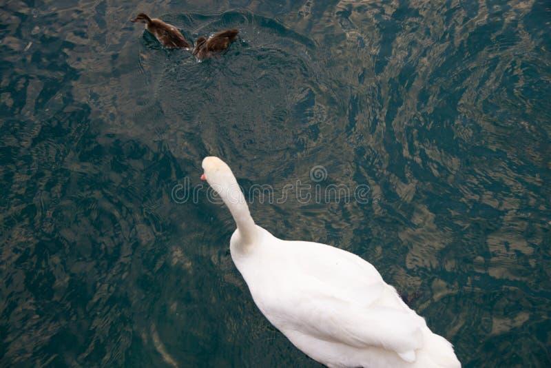 Le beau cygne blanc avec de petits enfants de cygne nagent sur le lac L'espace pour le texte photos stock