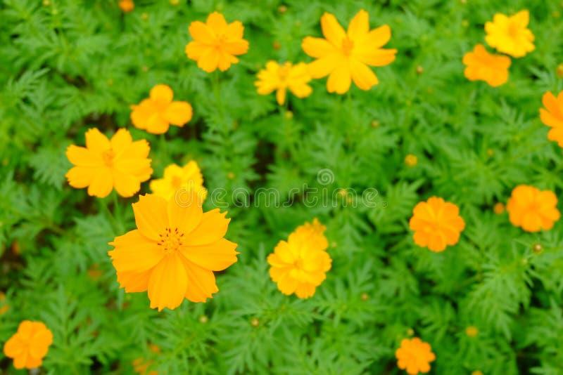 Le beau du cosmos ou de la feuille de cosmos et verte jaune i de soufre photographie stock