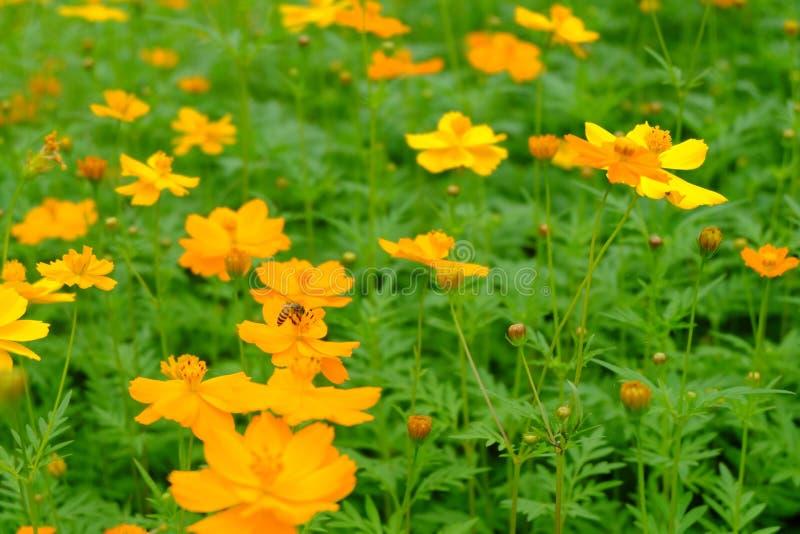 Le beau du cosmos ou de la feuille de cosmos et verte jaune i de soufre photo libre de droits