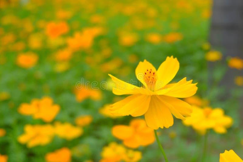 Le beau du cosmos ou de la feuille de cosmos et verte jaune i de soufre photographie stock libre de droits