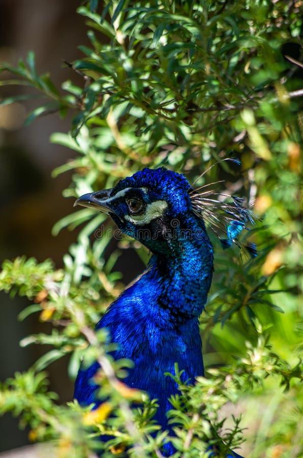 Le beau et l'élégance du mâle de paon dans un zoo photo libre de droits