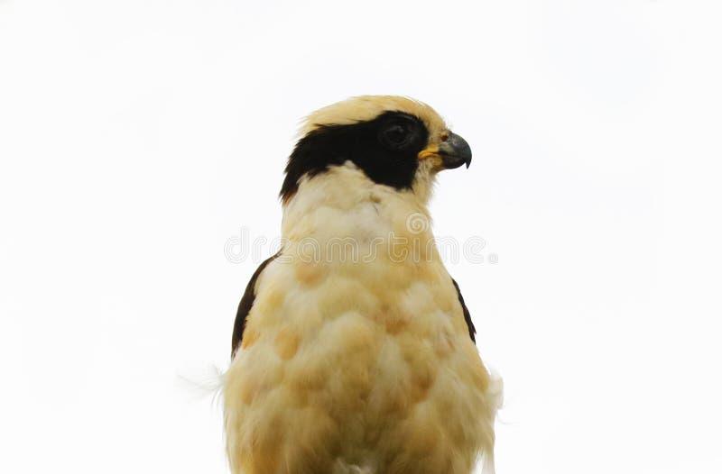 Le beau faucon riant dans la jungle de Costa Rica l'attendant le ` s prient photo libre de droits
