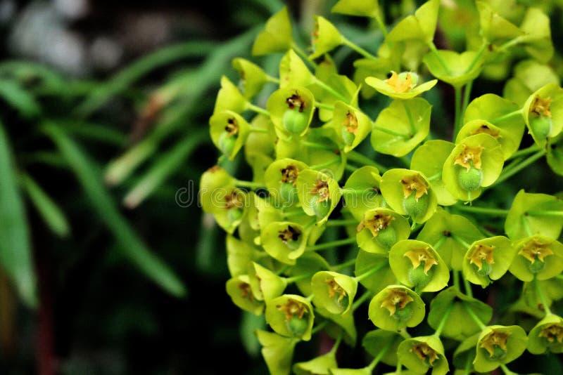 Le beau fond de petites fleurs vert-jaunes se ferment  images libres de droits