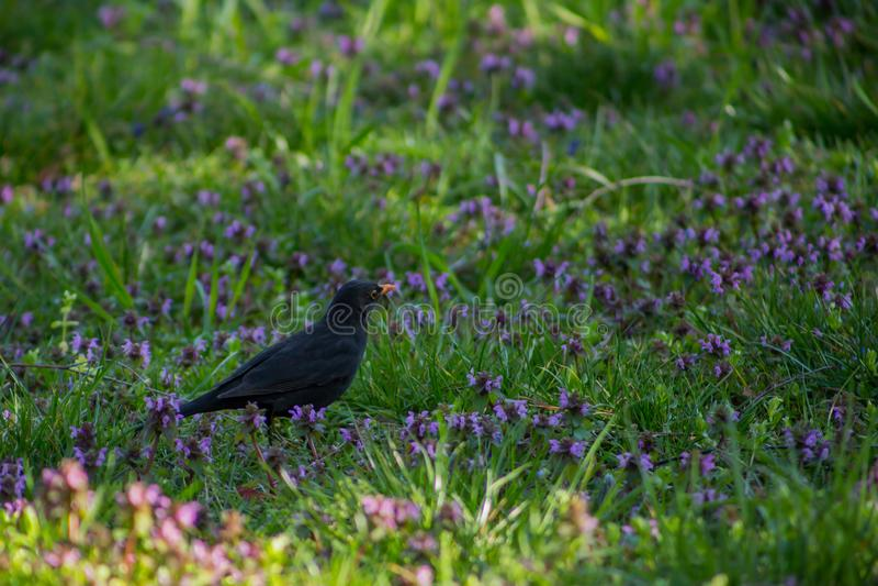 Le beau freux noir d'oiseau se tient sur le pré vert avec les fleurs bleues images libres de droits