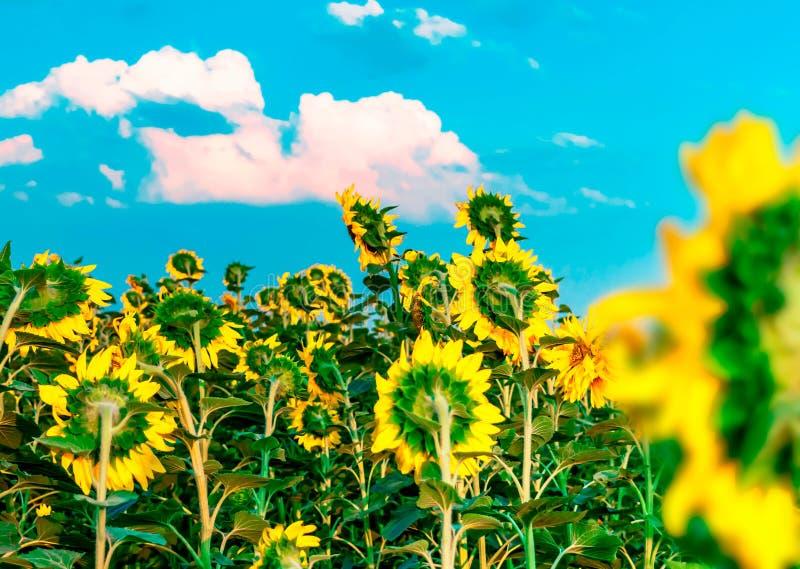 Le beau gisement lumineux de tournesol avec le ciel bleu et le blanc opacifie le fond Fleurs jaunes de floraison d'été Interdicti photos stock