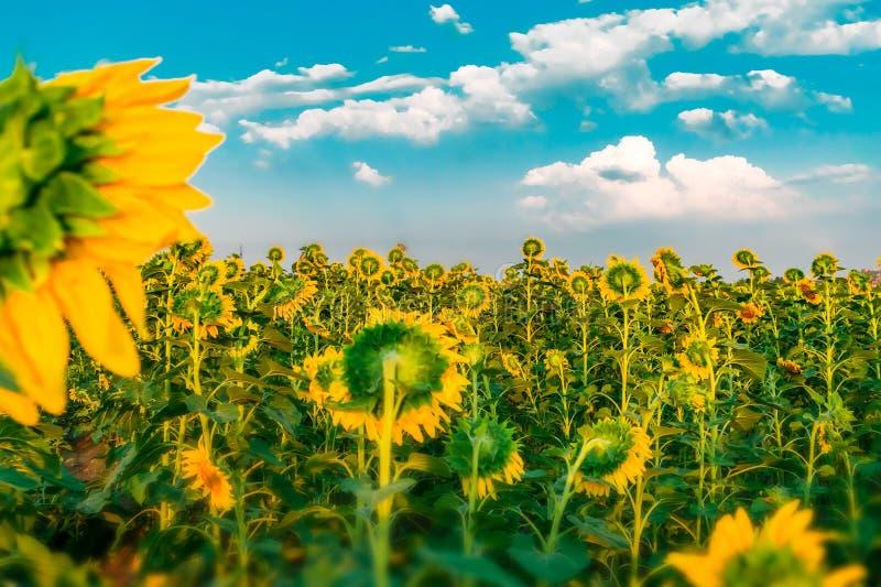Le beau gisement lumineux de tournesol avec le ciel bleu et le blanc opacifie le fond Fleurs jaunes de floraison d'été La Floride image libre de droits