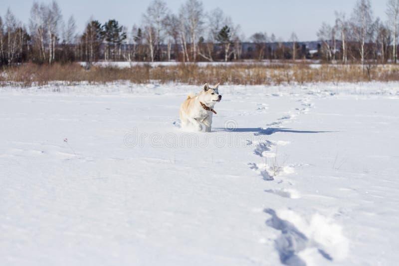 Le beau Japonais de pure race futé drôle Akita Inu de chien se tient dans un domaine de neige avec sa langue collant en hiver images libres de droits