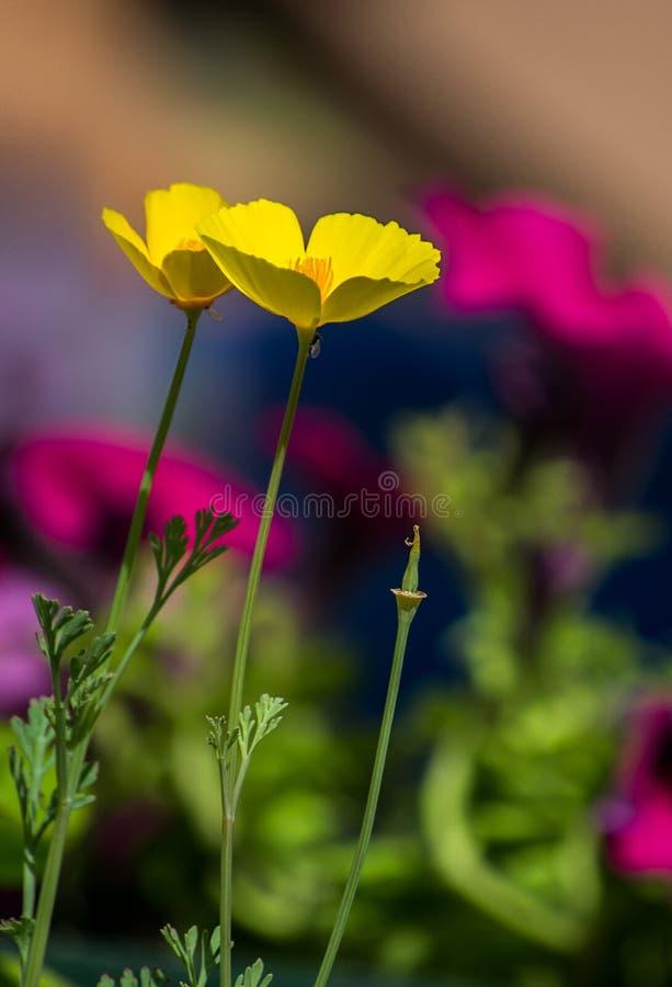 Le beau jardin doux fleurit, jaune sur le fond pourpre Fleur jaune sensible mince, jour d'été lumineux photos stock
