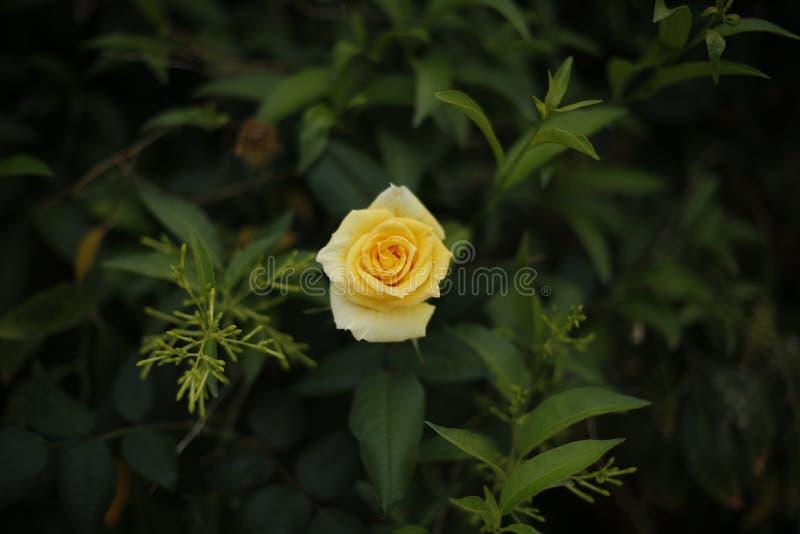 Le beau jaune a monté photo stock
