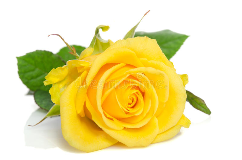 Le beau jaune a monté photographie stock libre de droits