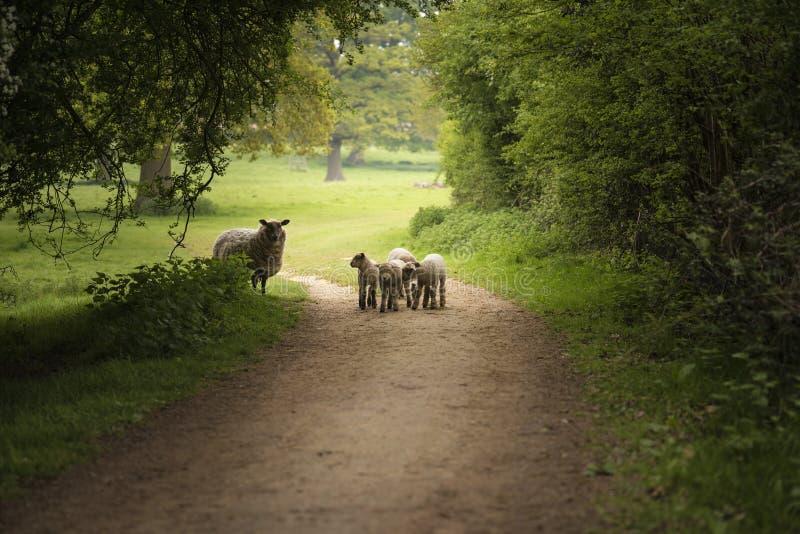 Le beau jeune ressort agnelle jouer dans la terre anglaise de campagne images stock