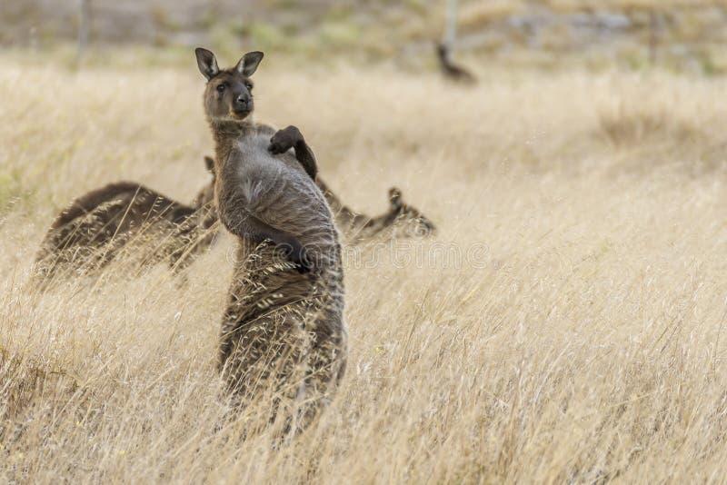 Le beau kangourou prend une position étrange et une expression drôle, île de kangourou, Australie du sud photos libres de droits