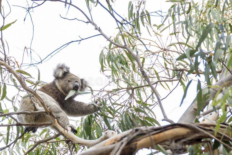 Le beau koala dans la vie sauvage mange des feuilles d'eucalyptus s'accrochant à une branche, île de kangourou, Australie du sud photo libre de droits