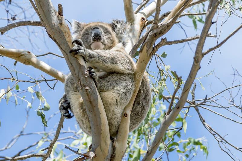 Le beau koala s'est élevé sur un eucalyptus contre le ciel bleu, île de kangourou, Australie du sud photos stock