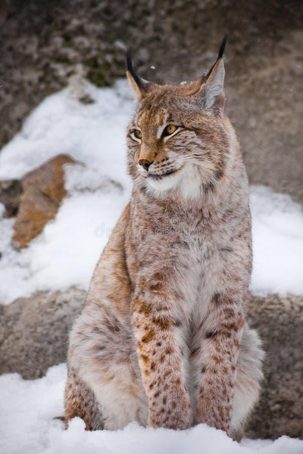 Le beau lynx de la ville se repose verticalement dans la neige et regarde indulgent en passant avec de grands yeux clairs sur d'a images stock