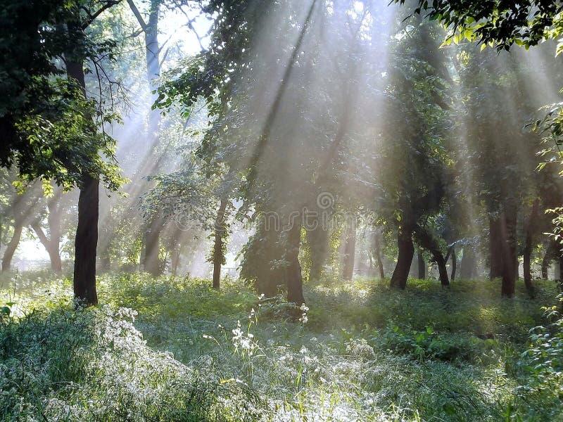 Le beau matin ensoleillé dans le tranquille dissolvent la forêt de ressort photos libres de droits