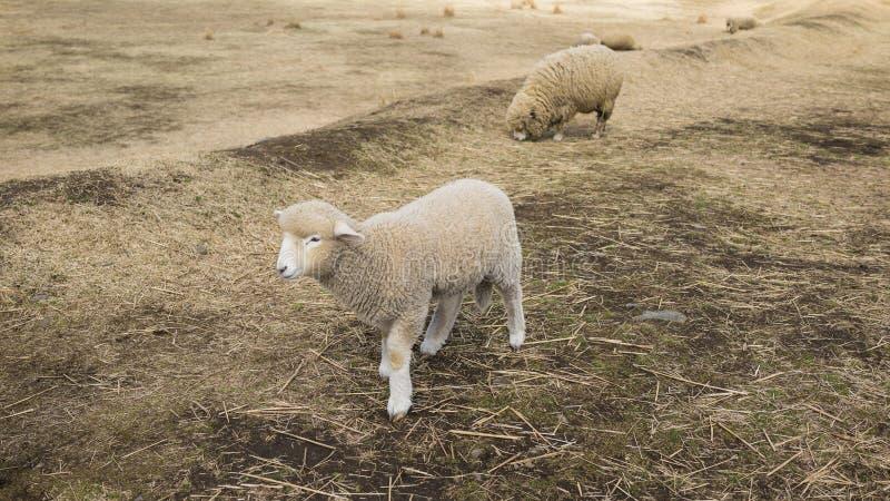 Le beau mouton marche sur la terre dans la ferme photo libre de droits