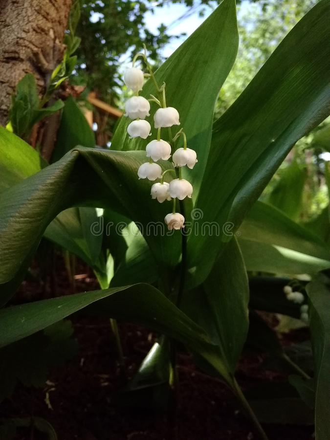 Le beau muguet par l'arbre photos stock