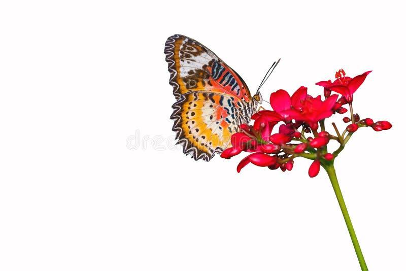 Le beau papillon de dentelle de léopard (cyane de Cethosia) suce le nectar de la fleur rouge photographie stock
