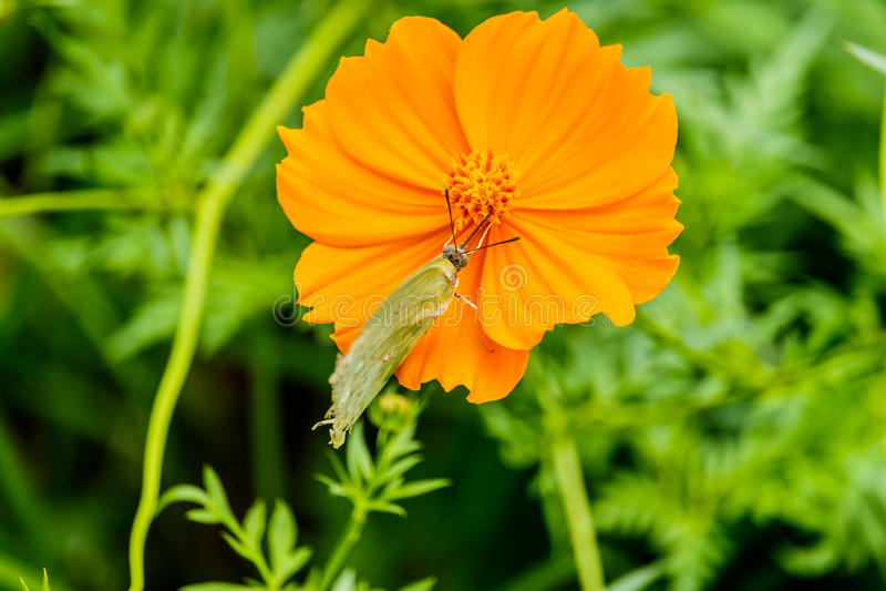 Le beau papillon de fritillaire de Golfe a posé sur des honoraires jaunes de fleur photo libre de droits