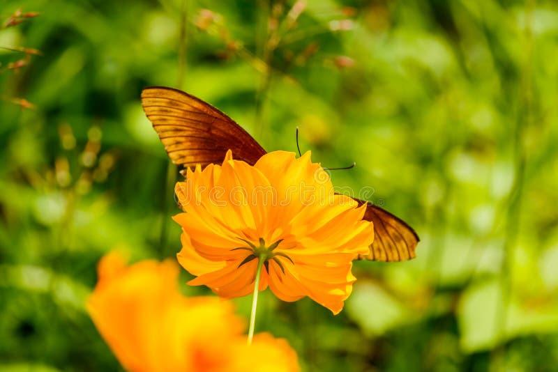 Le beau papillon de fritillaire de Golfe a posé sur des honoraires jaunes de fleur photo stock