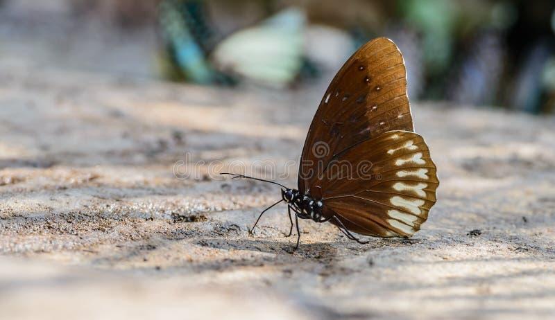 Le beau papillon noir de Kaiser mangent le minerai en nature photo libre de droits
