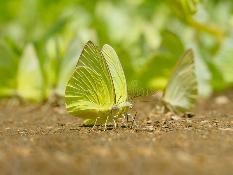 Le beau papillon sauvage au sol, essaim de papillons mange des minerais dans le camp de Krang d'interdiction, parc national de Ka image stock