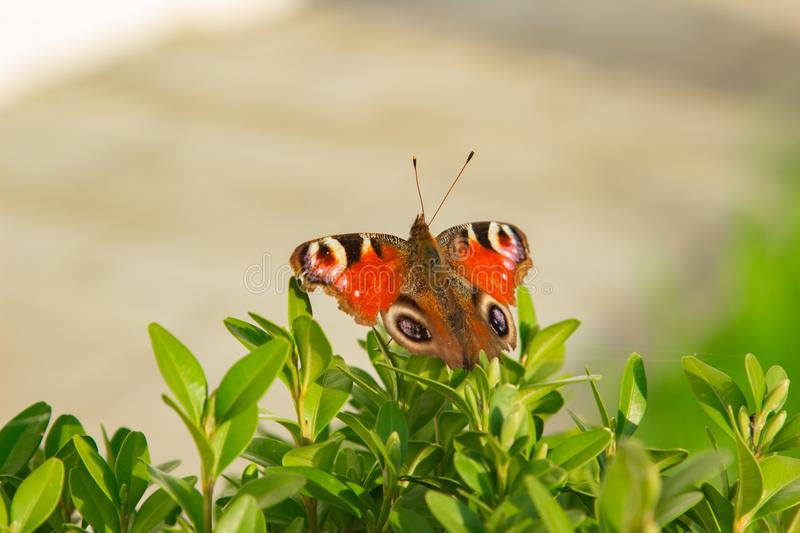 Le beau papillon se repose sur un buisson vert photos stock