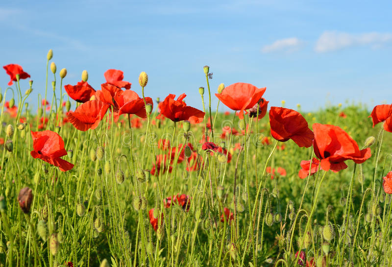Le beau pavot fleurit dans un domaine contre le ciel dans le col en pastel photographie stock