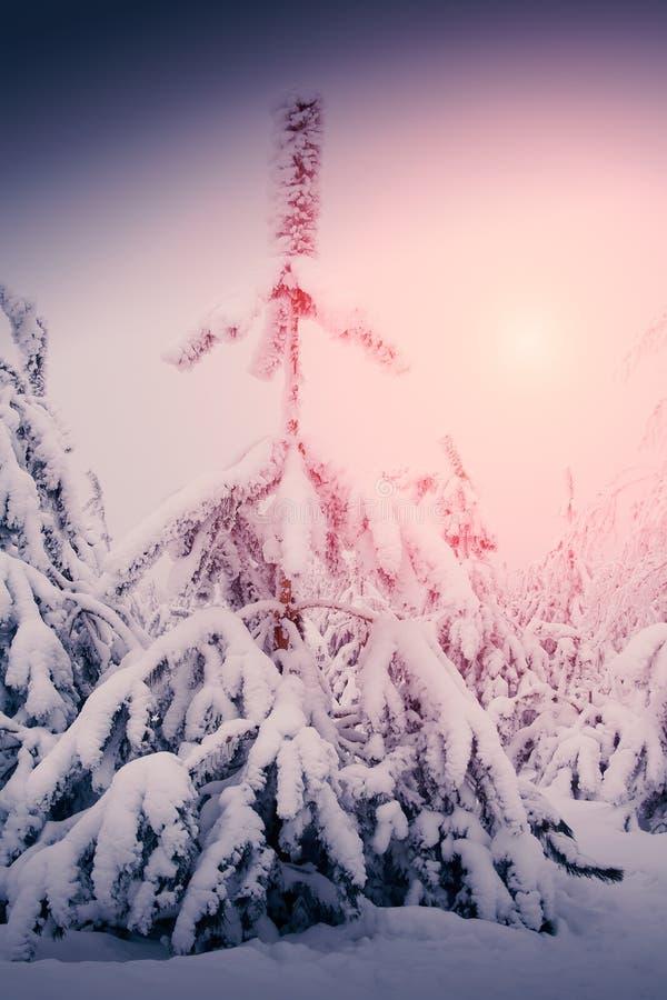 Le beau paysage de nature d'hiver, arbres a couvert la neige photo libre de droits