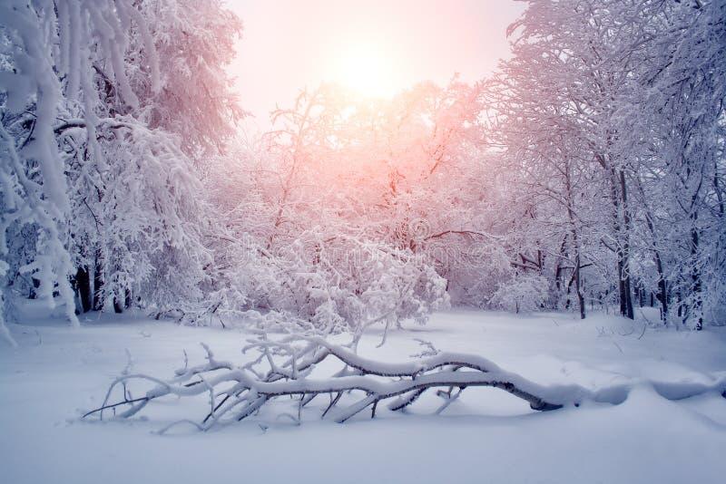 Le beau paysage de nature d'hiver, arbres a couvert la neige image libre de droits