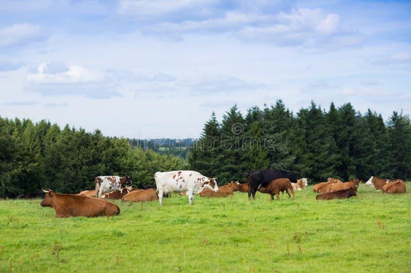 Le beau paysage du champ et les collines aménagent en parc avec des vaches sur a photographie stock