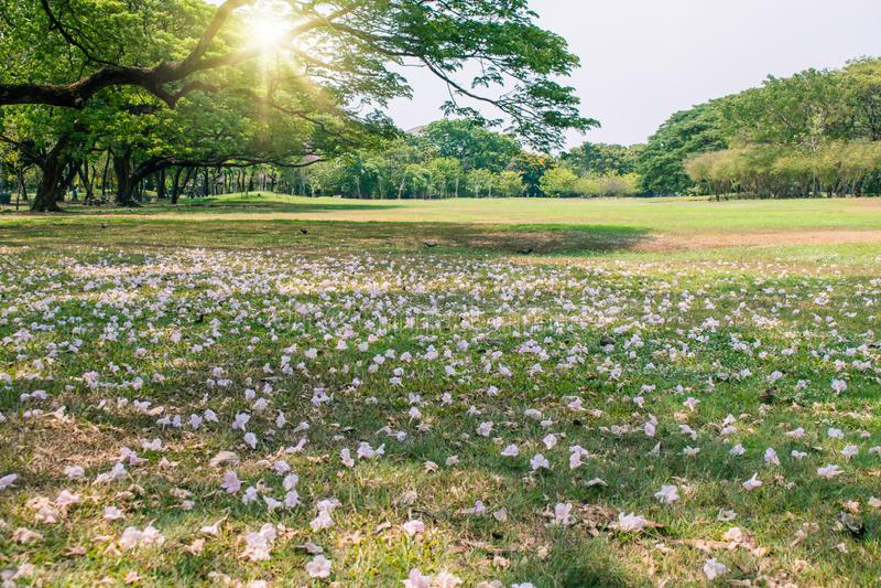 Le beau paysage en automne saisonnier des fleurs roses tombent presque racine d'arbre en parc public photos stock