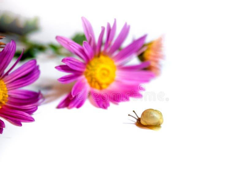 Le beau petit escargot aime des fleurs photos stock