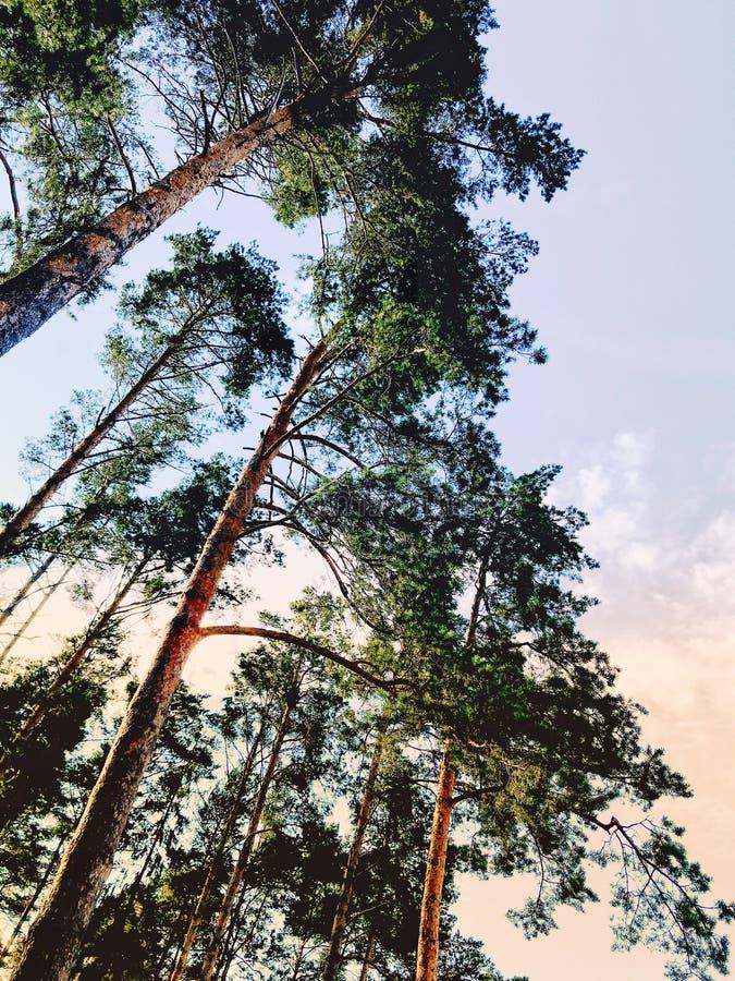 Le beau pin s'embranche avec le grand grand, beau paysage de forêt à l'image de coucher du soleil avec la rétro tonalité image libre de droits