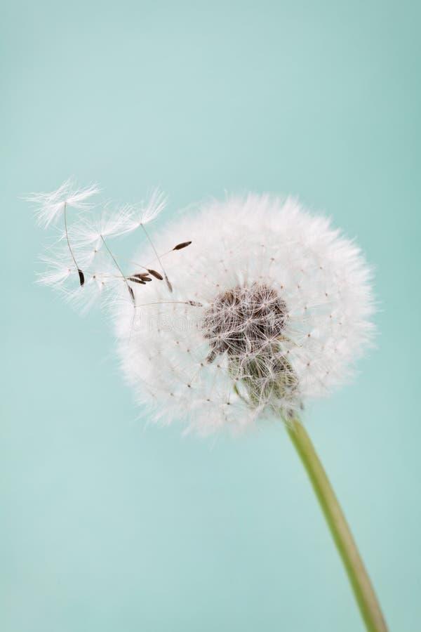 Le beau pissenlit fleurit avec des plumes de vol sur le fond de turquoise, carte de vintage photos libres de droits