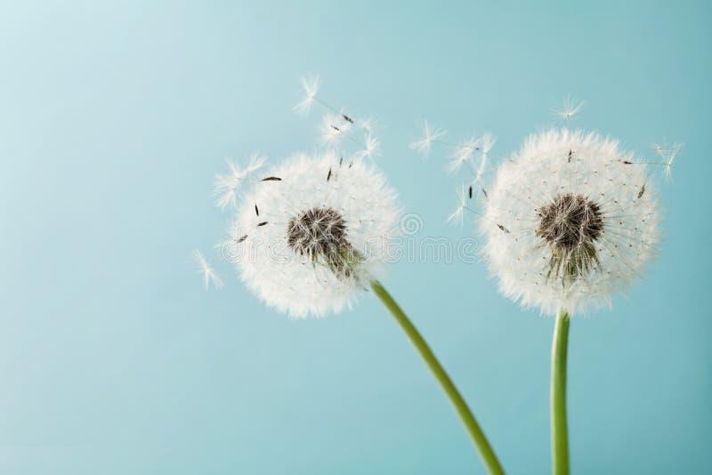 Le beau pissenlit fleurit avec des plumes de vol sur le fond de turquoise, carte de vintage image stock