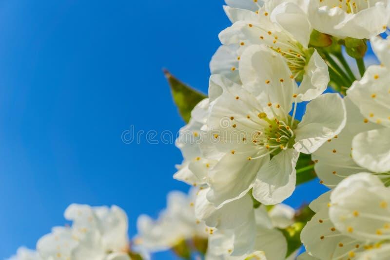 Le beau plumeria fleurit sur un prunier, domestica de prunus photo stock