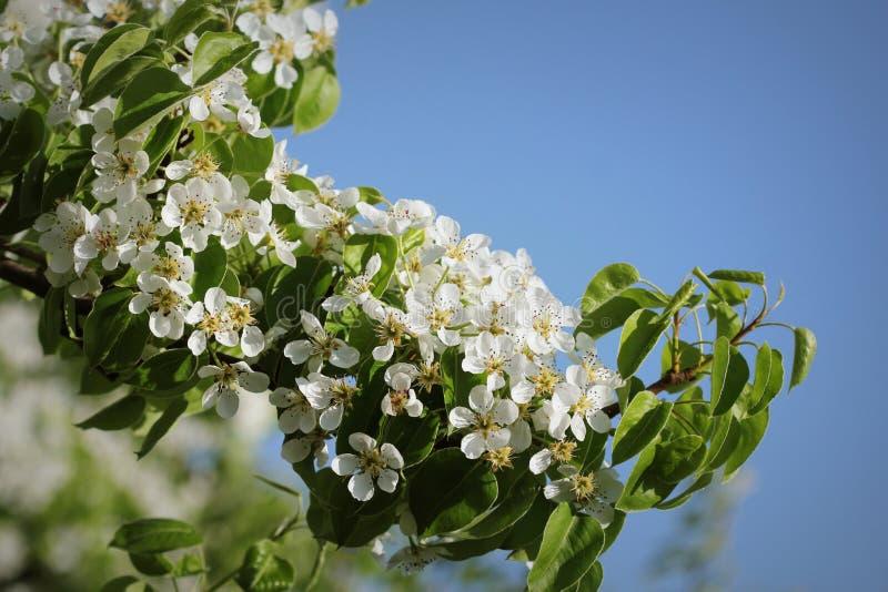 Le beau poirier de branche fleurit sur un fond bleu images libres de droits