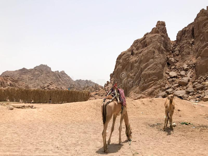 Le beau repos du chameau deux, frôlant dans le parking, s'est arrêté avec des bosses sur à sable jaune chaud dans le désert en Eg images libres de droits