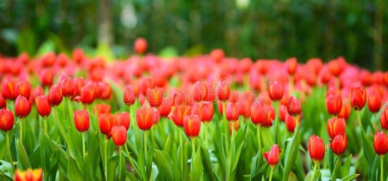 Le beau ressort fleurit la tulipe rouge images stock