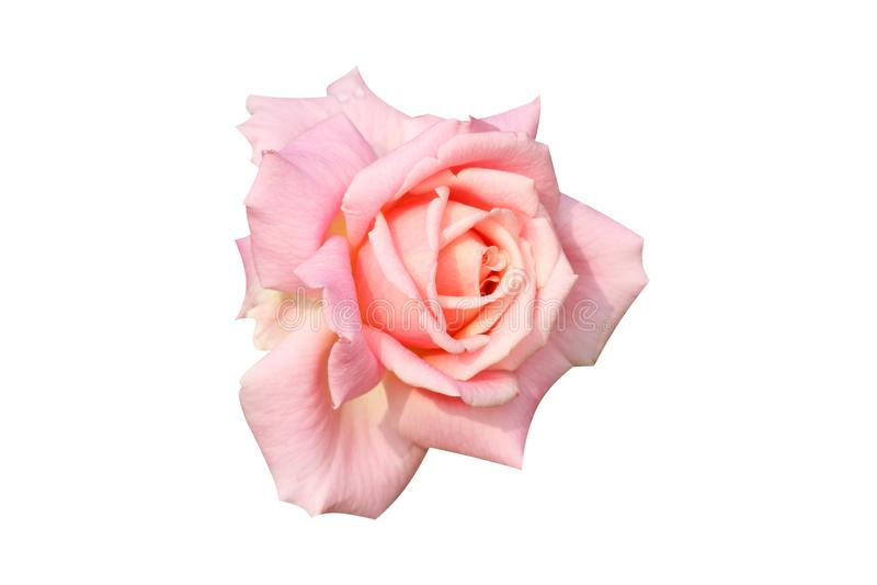 Le beau rose doux de vue supérieure a monté avec des baisses de l'eau images stock