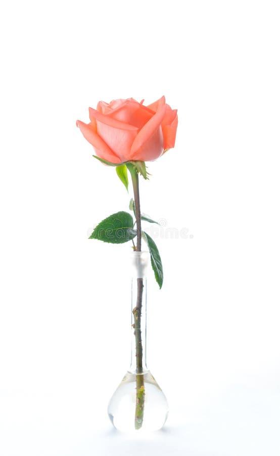 Le beau rose frais simple a monté dans le vase en verre d'isolement sur le fond blanc image stock